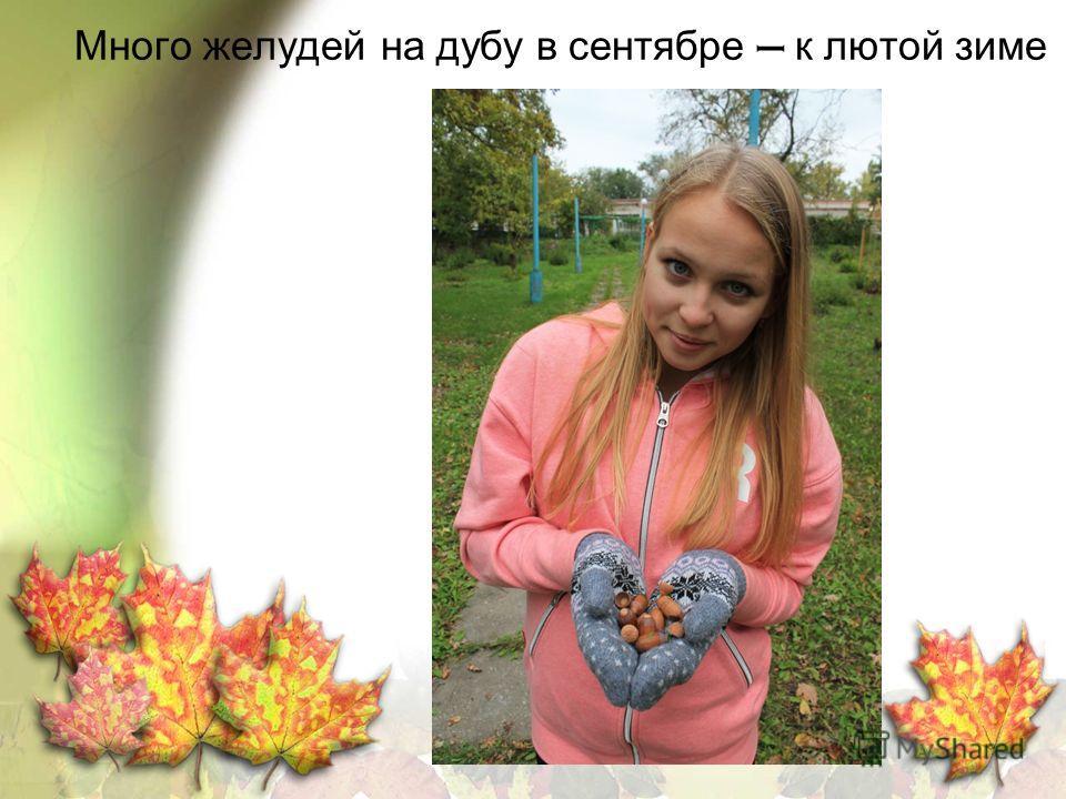 Много желудей на дубу в сентябре к лютой зиме