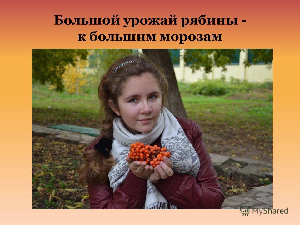 Большой урожай рябины - к большим морозам
