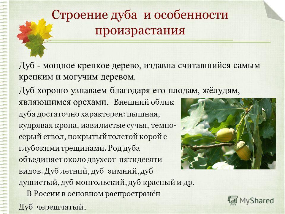 Строение дуба и особенности произрастания Дуб - мощное крепкое дерево, издавна считавшийся самым крепким и могучим деревом. Дуб хорошо узнаваем благодаря его плодам, жёлудям, являющимся орехами. Внешний облик дуба достаточно характерен: пышная, кудря