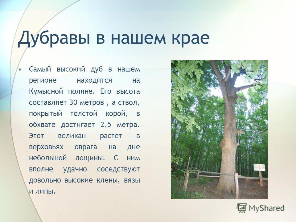 Дубравы в нашем крае Самый высокий дуб в нашем регионе находится на Кумысной поляне. Его высота составляет 30 метров, а ствол, покрытый толстой корой, в обхвате достигает 2,5 метра. Этот великан растет в верховьях оврага на дне небольшой лощины. С ни