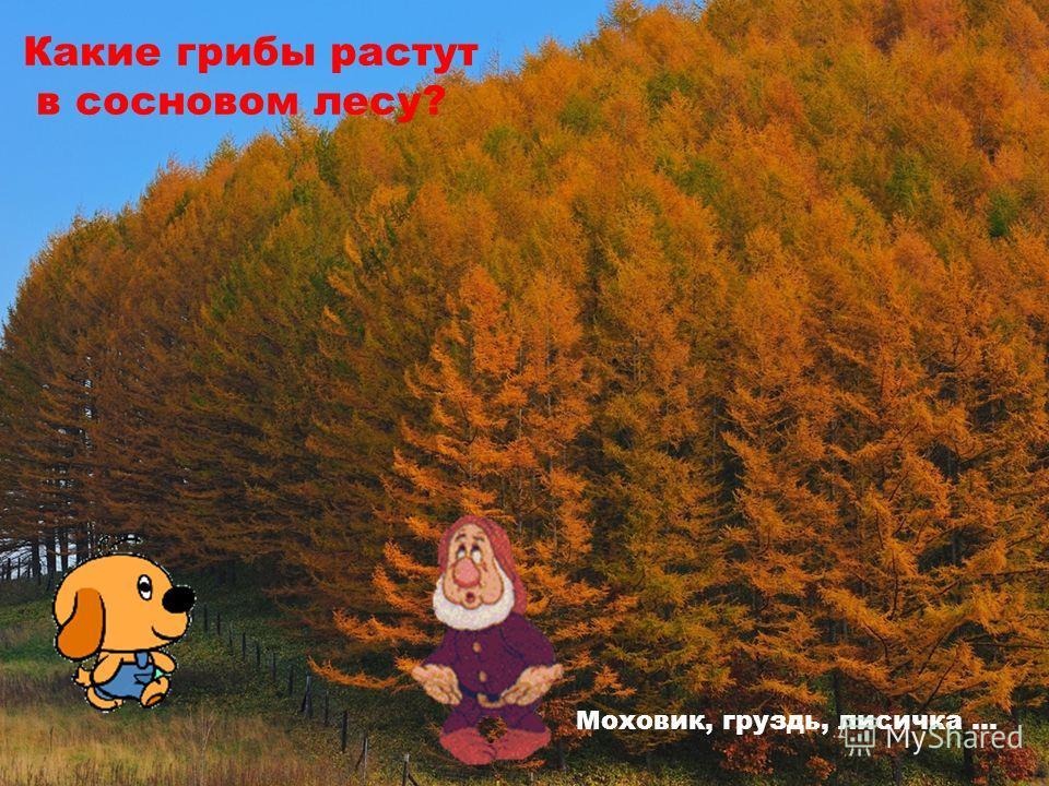 Какие грибы растут в сосновом лесу? Моховик, груздь, лисичка …