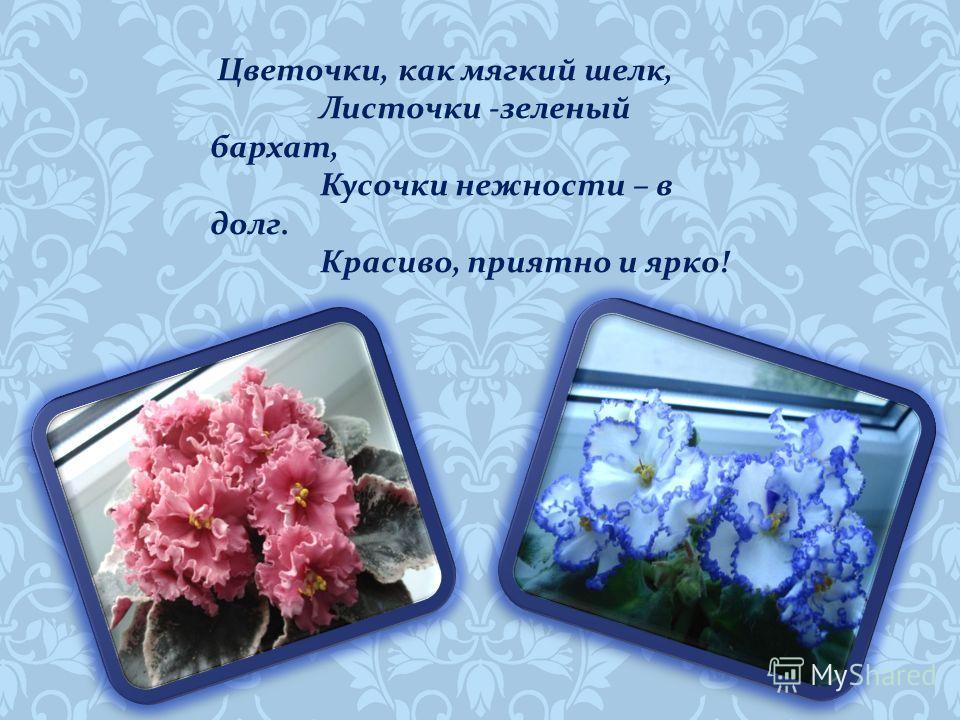 Фиалки цветут для души, Как раз на мои именины ! Свежи и так хороши, Еще по - детски ранимы.