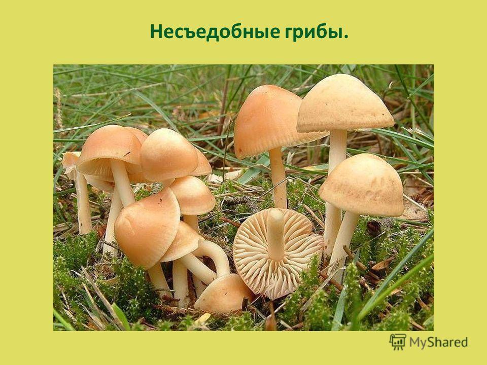 Несъедобные грибы.