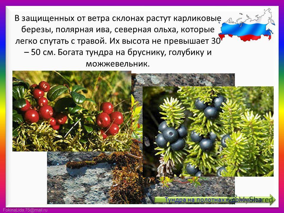 FokinaLida.75@mail.ru В защищенных от ветра склонах растут карликовые березы, полярная ива, северная ольха, которые легко спутать с травой. Их высота не превышает 30 – 50 см. Богата тундра на бруснику, голубику и можжевельник. Тундра на полотнах худо