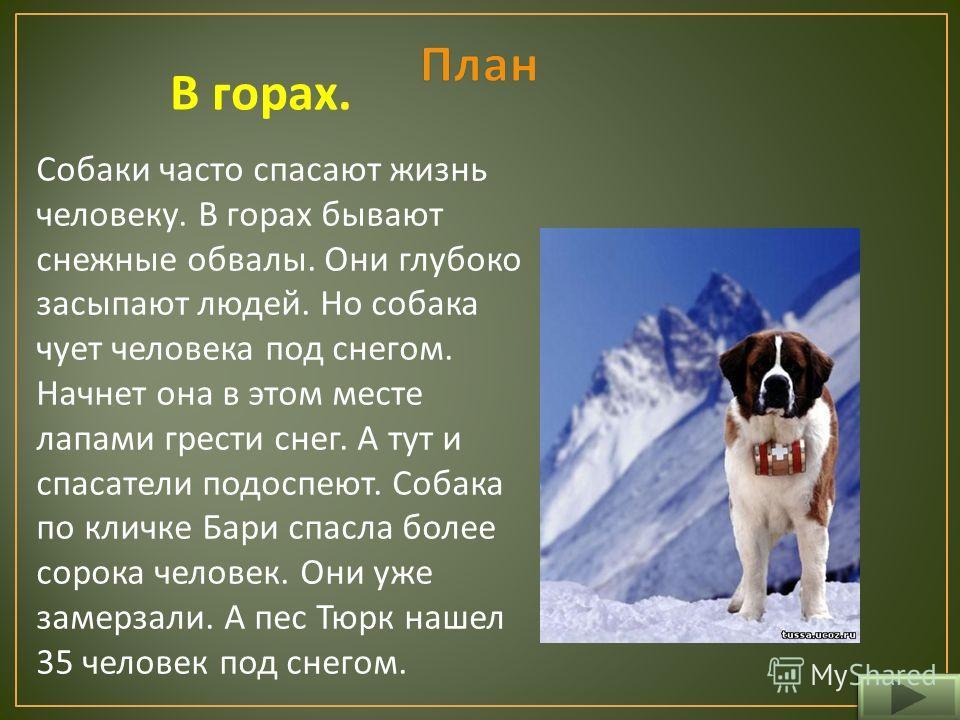 В горах. Собаки часто спасают жизнь человеку. В горах бывают снежные обвалы. Они глубоко засыпают людей. Но собака чует человека под снегом. Начнет она в этом месте лапами грести снег. А тут и спасатели подоспеют. Собака по кличке Бари спасла более с