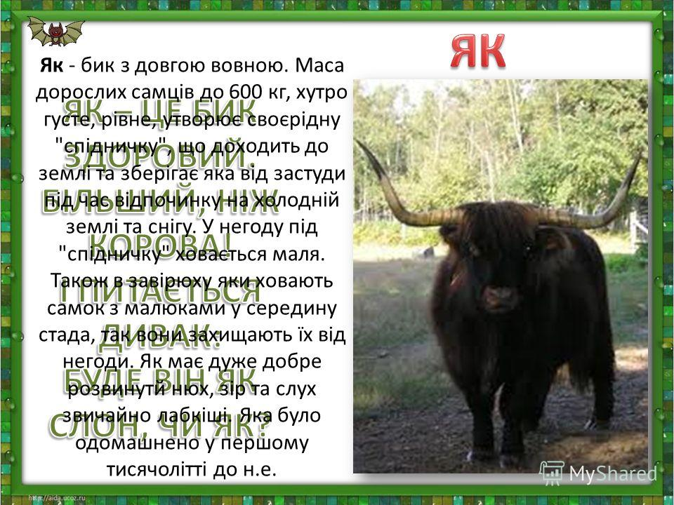 Як - бик з довгою вовною. Маса дорослих самців до 600 кг, хутро густе, рівне, утворює своєрідну