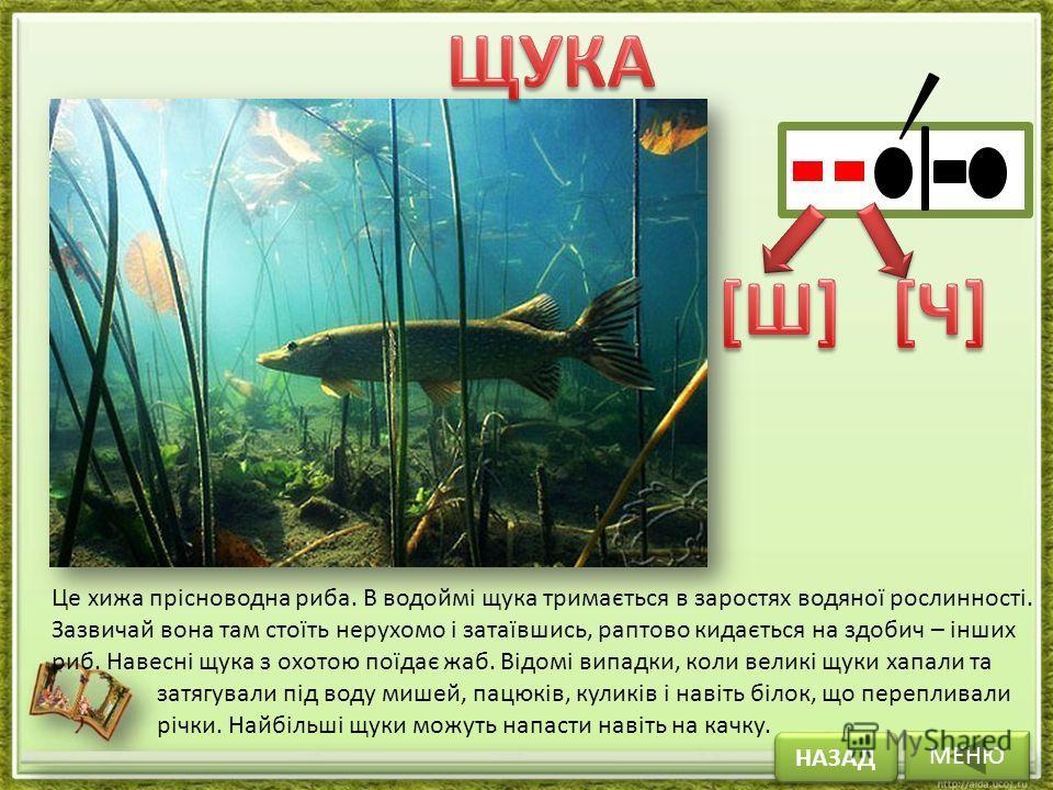 МЕНЮ НАЗАД Це хижа прісноводна риба. В водоймі щука тримається в заростях водяної рослинності. Зазвичай вона там стоїть нерухомо і затаївшись, раптово кидається на здобич – інших риб. Навесні щука з охотою поїдає жаб. Відомі випадки, коли великі щуки