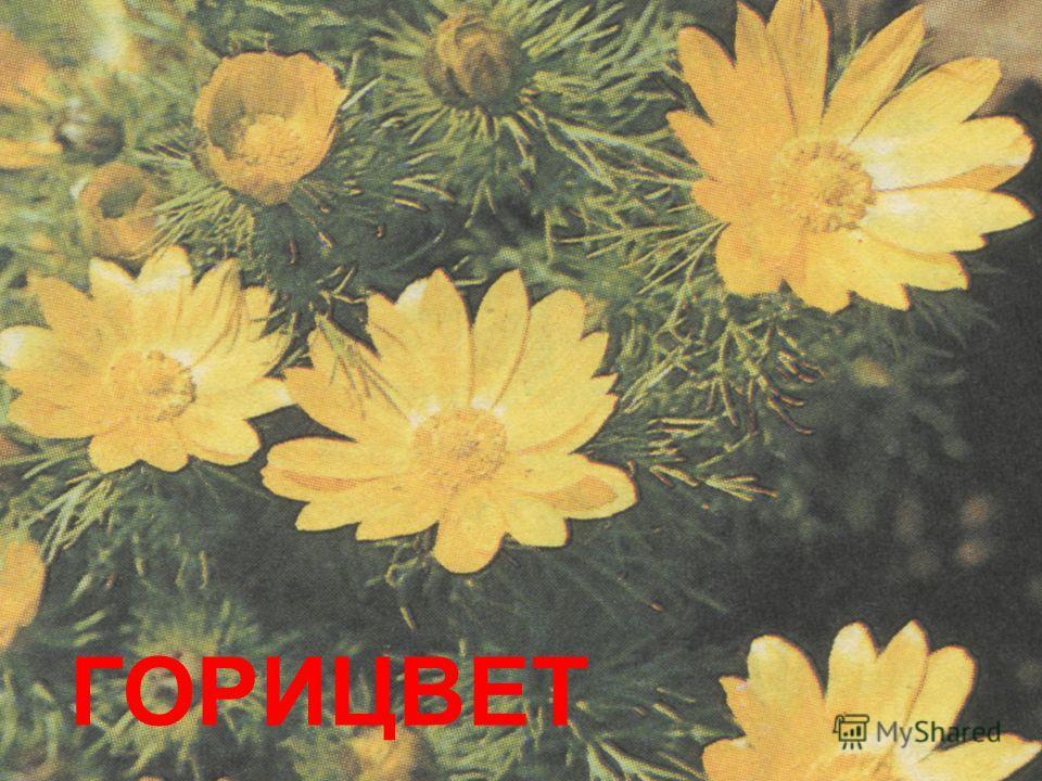 ГОРИЦВЕТ