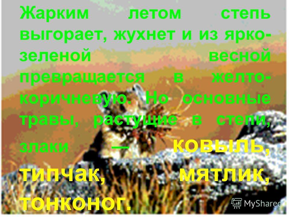 Жарким летом степь выгорает, жухнет и из ярко- зеленой весной превращается в желто- коричневую. Но основные травы, растущие в степи, злаки ковыль, типчак, мятлик, тонконог.