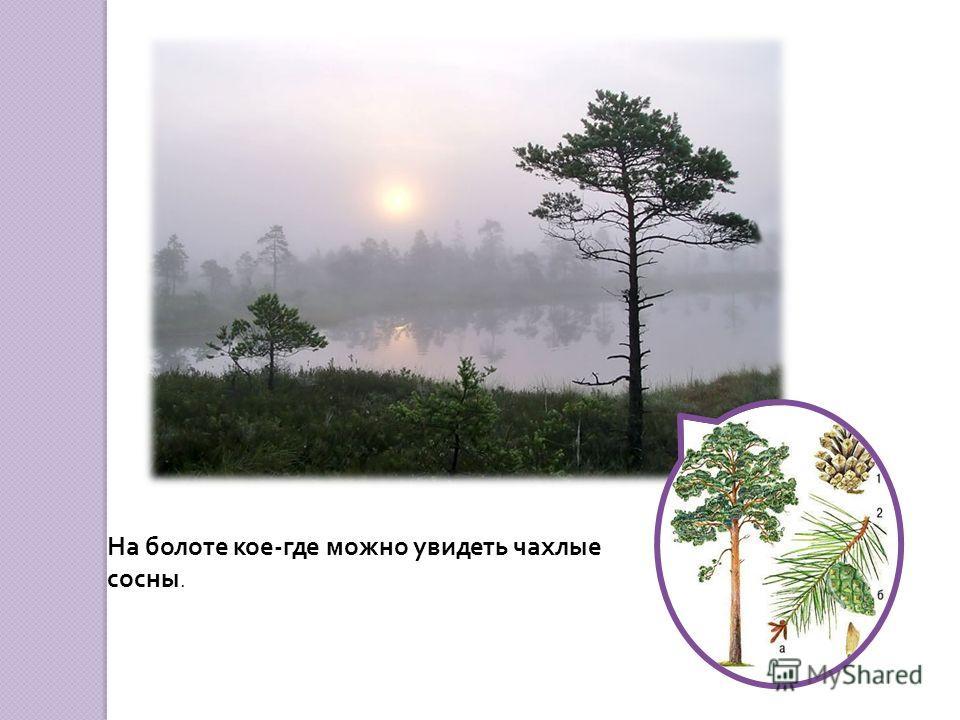 На бедных питательными веществами болотистых почвах светло-зелёным ковром стелется мох сфагнум.