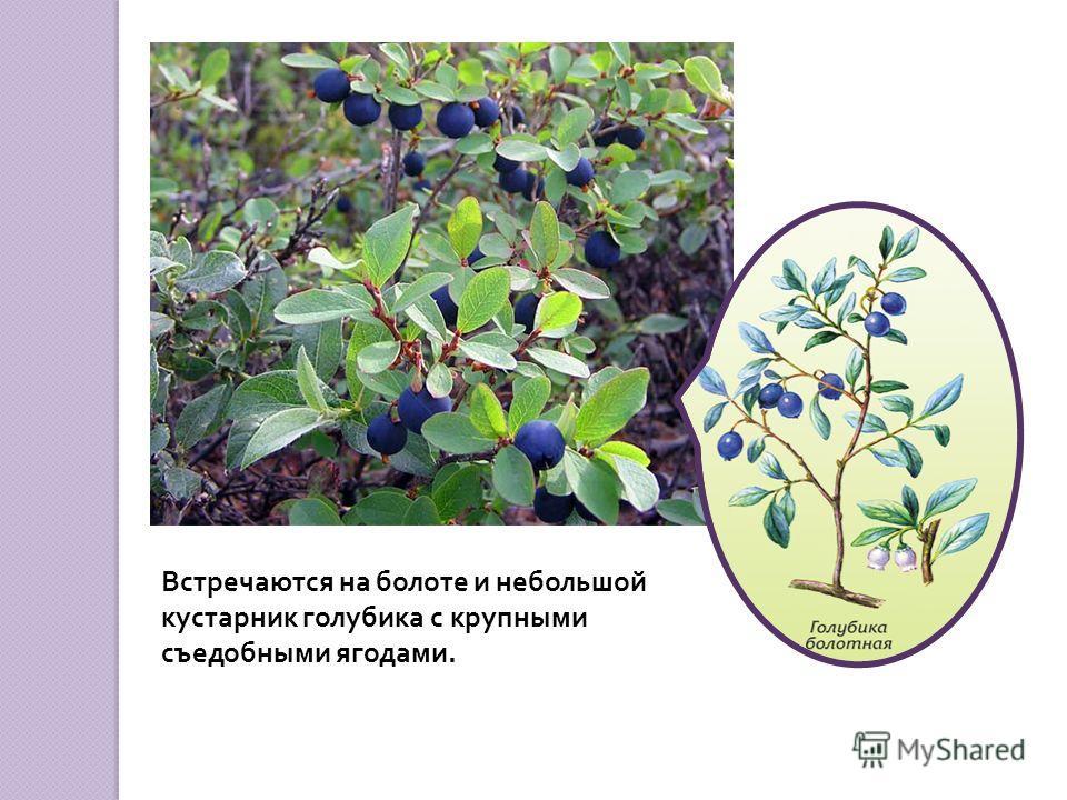 На болоте встречается мелкое растение – росянка. Это растение – хищник. Оно не захотело погибать на бедных болотистых почвах и приспособилось ловить и есть насекомых.