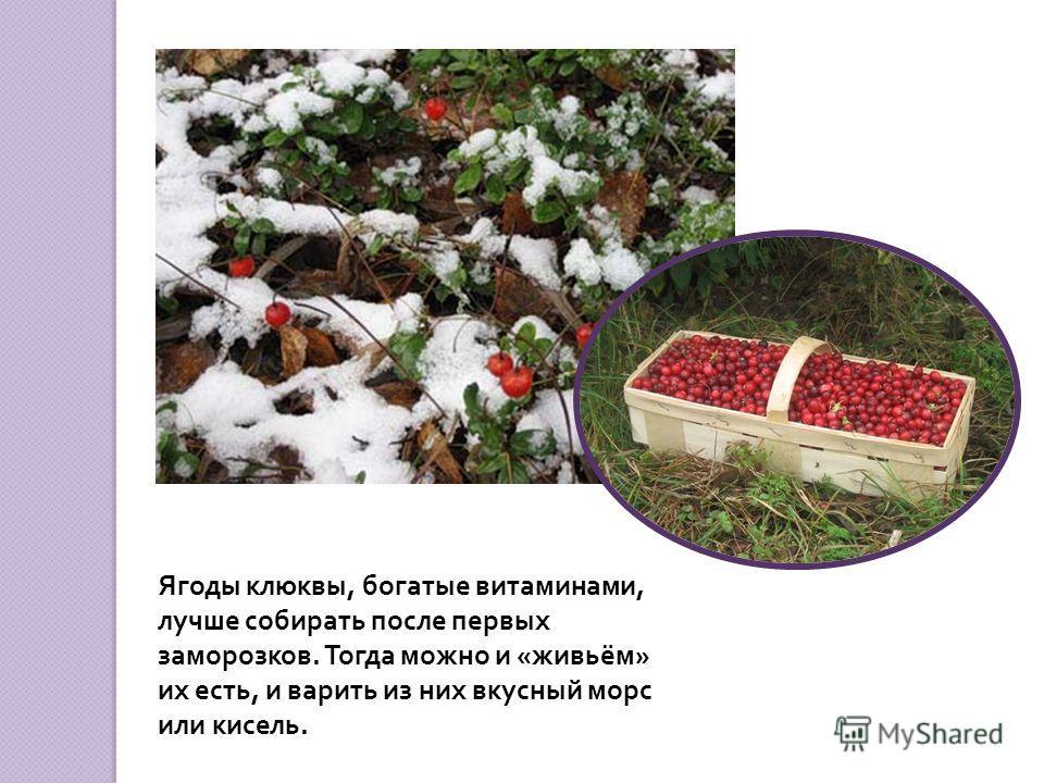 Клюква – не травянистое растение, а вечнозелёный кустарничек. Его стебель, толщиной с иголку, имеет такое же строение, как стебель настоящих больших кустарников.