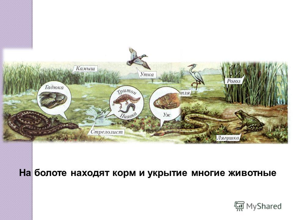 На болоте часто раздаются «вздохи». Это выходят газы, образующиеся на глубине болота из-за гниения остатков растений и других организмов.