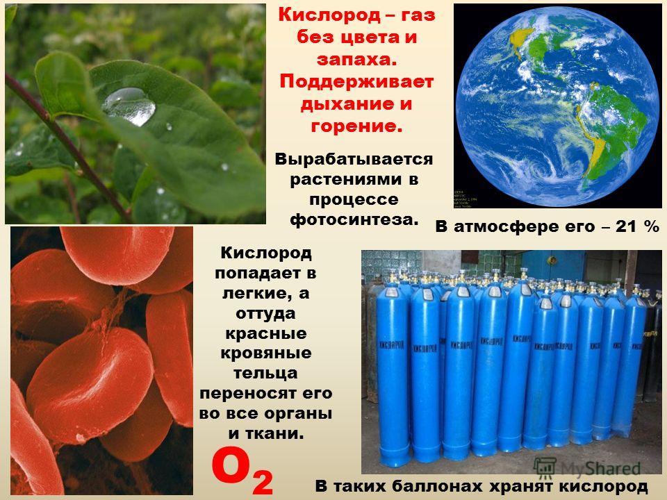 Кислород – газ без цвета и запаха. Поддерживает дыхание и горение. Вырабатывается растениями в процессе фотосинтеза. В атмосфере его – 21 % В таких баллонах хранят кислород Кислород попадает в легкие, а оттуда красные кровяные тельца переносят его во