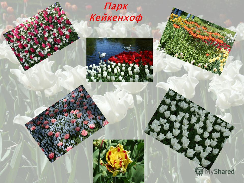 Каждый год весной в Голландии проводится парад цветов