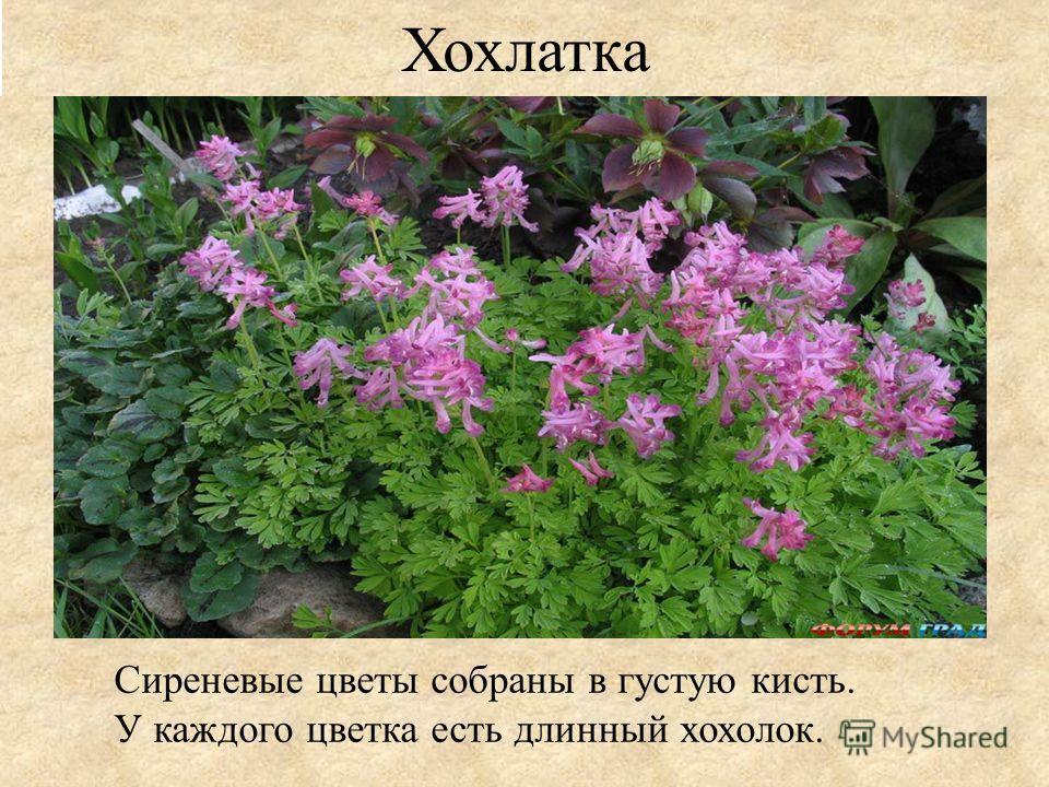 Хохлатка Сиреневые цветы собраны в густую кисть. У каждого цветка есть длинный хохолок.