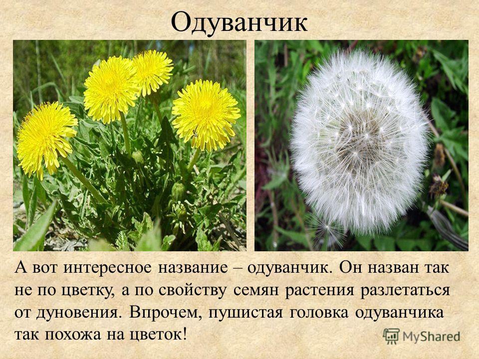 Одуванчик А вот интересное название – одуванчик. Он назван так не по цветку, а по свойству семян растения разлетаться от дуновения. Впрочем, пушистая головка одуванчика так похожа на цветок!