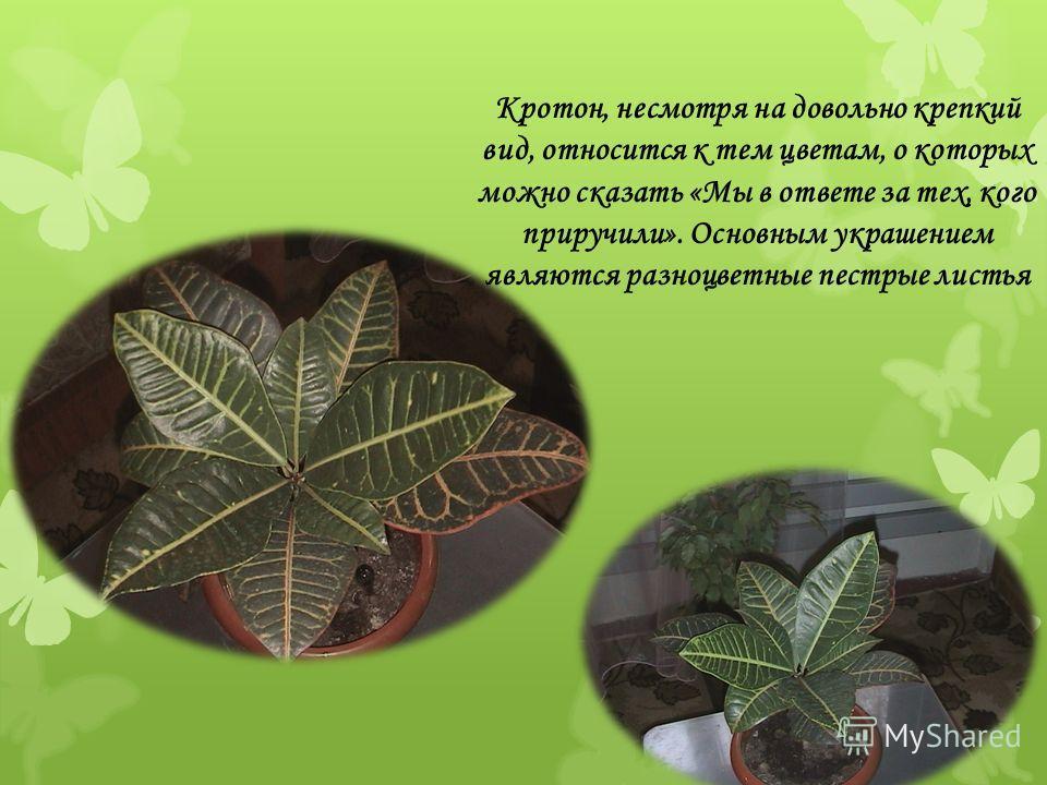 Кротон, несмотря на довольно крепкий вид, относится к тем цветам, о которых можно сказать «Мы в ответе за тех, кого приручили». Основным украшением являются разноцветные пестрые листья