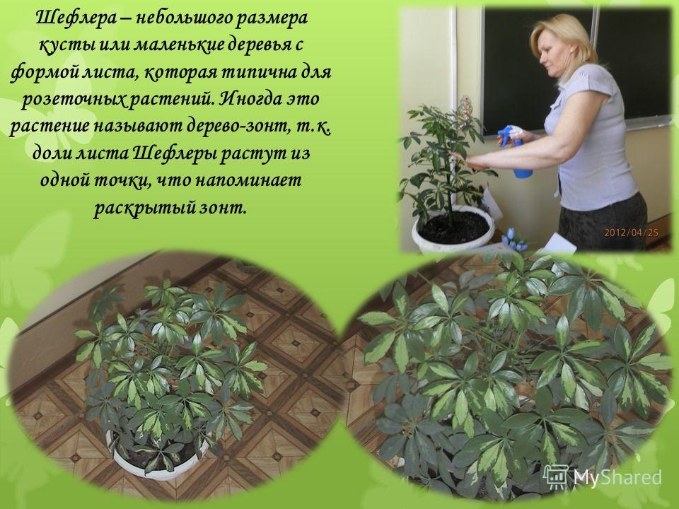 Шефлера – небольшого размера кусты или маленькие деревья с формой листа, которая типична для розеточных растений. Иногда это растение называют дерево-зонт, т.к. доли листа Шефлеры растут из одной точки, что напоминает раскрытый зонт.