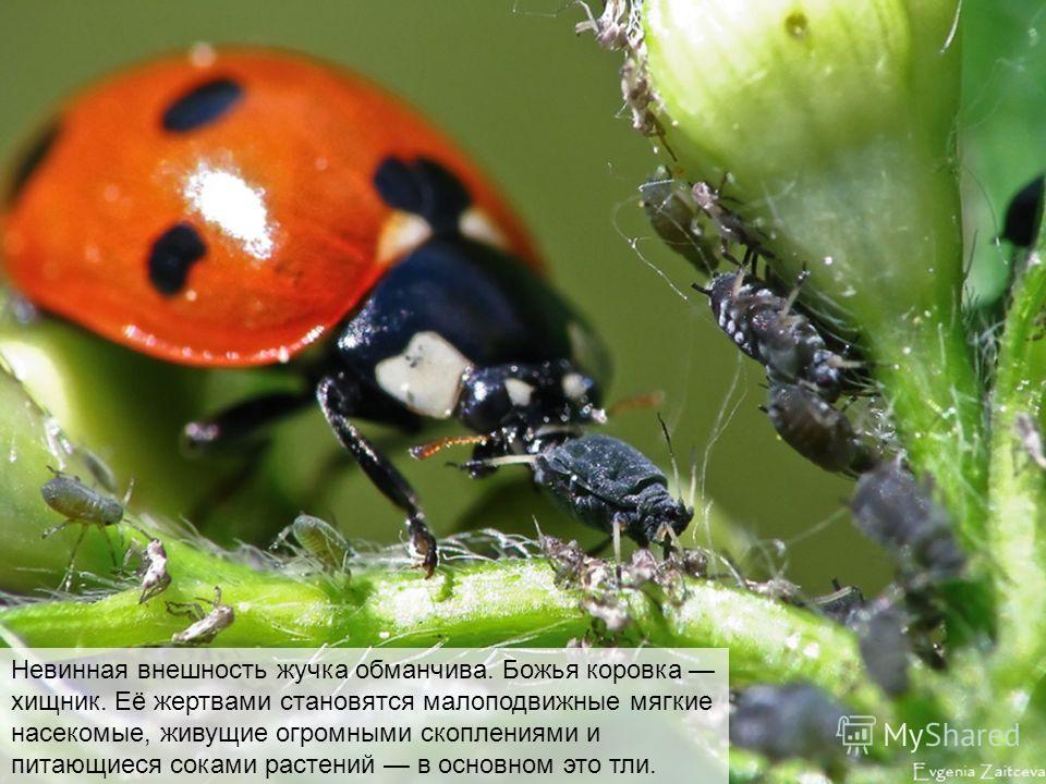 Невинная внешность жучка обманчива. Божья коровка хищник. Её жертвами становятся малоподвижные мягкие насекомые, живущие огромными скоплениями и питающиеся соками растений в основном это тли.