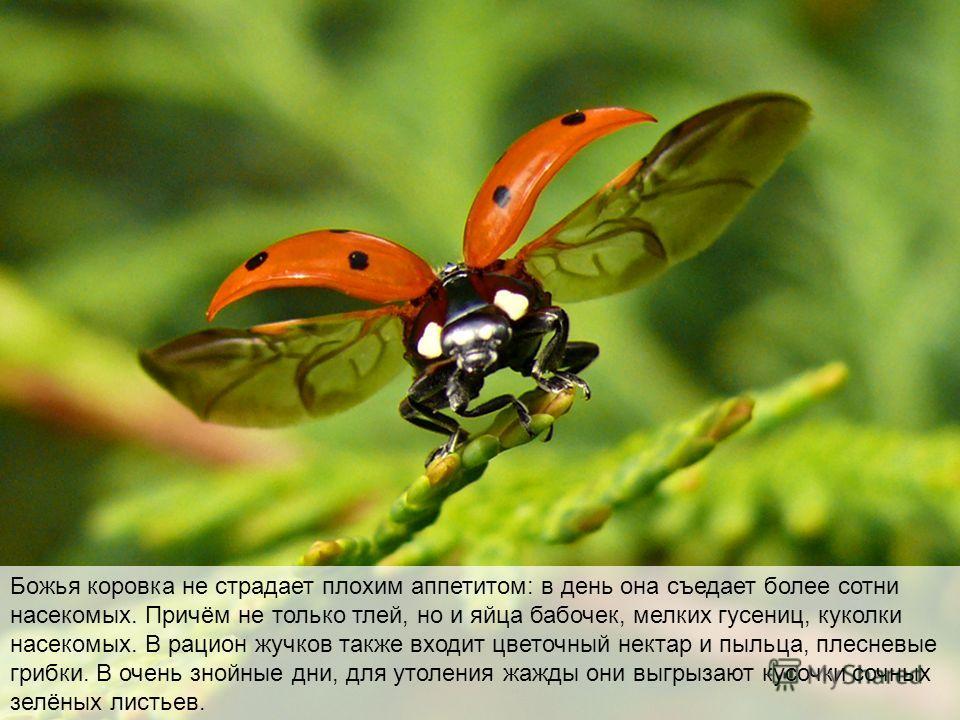 Божья коровка не страдает плохим аппетитом: в день она съедает более сотни насекомых. Причём не только тлей, но и яйца бабочек, мелких гусениц, куколки насекомых. В рацион жучков также входит цветочный нектар и пыльца, плесневые грибки. В очень знойн