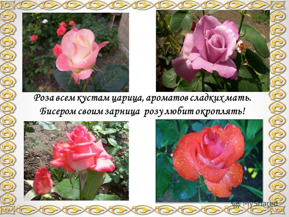 Роза всем кустам царица, ароматов сладких мать. Бисером своим зарница розу любит окроплять!