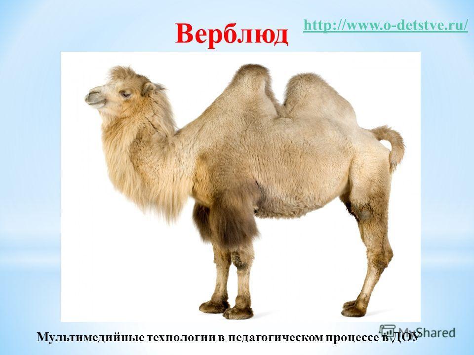 Верблюд http://www.o-detstve.ru/ Мультимедийные технологии в педагогическом процессе в ДОУ