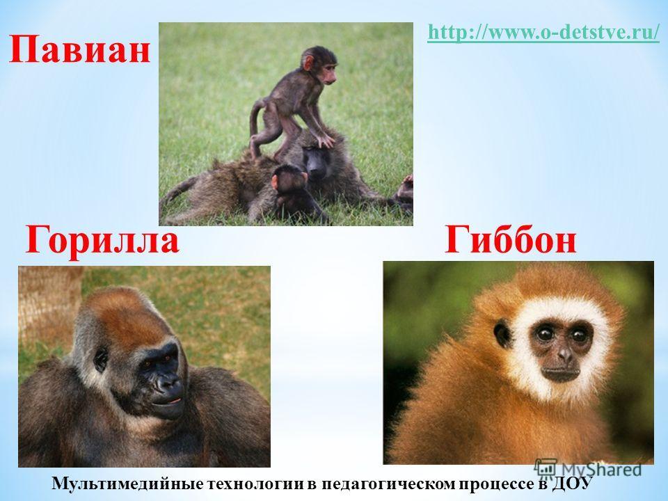 ГиббонГорилла Павиан http://www.o-detstve.ru/ Мультимедийные технологии в педагогическом процессе в ДОУ