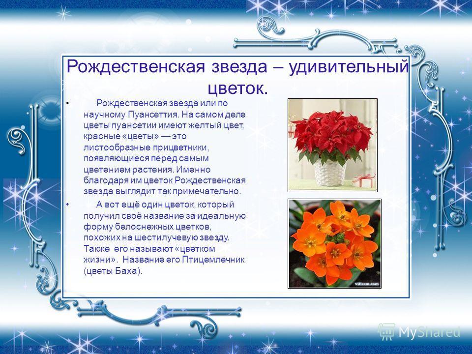 Рождественская звезда – удивительный цветок. Рождественская звезда или по научному Пуансеттия. На самом деле цветы пуансетии имеют желтый цвет, красные «цветы» это листообразные прицветники, появляющиеся перед самым цветением растения. Именно благода