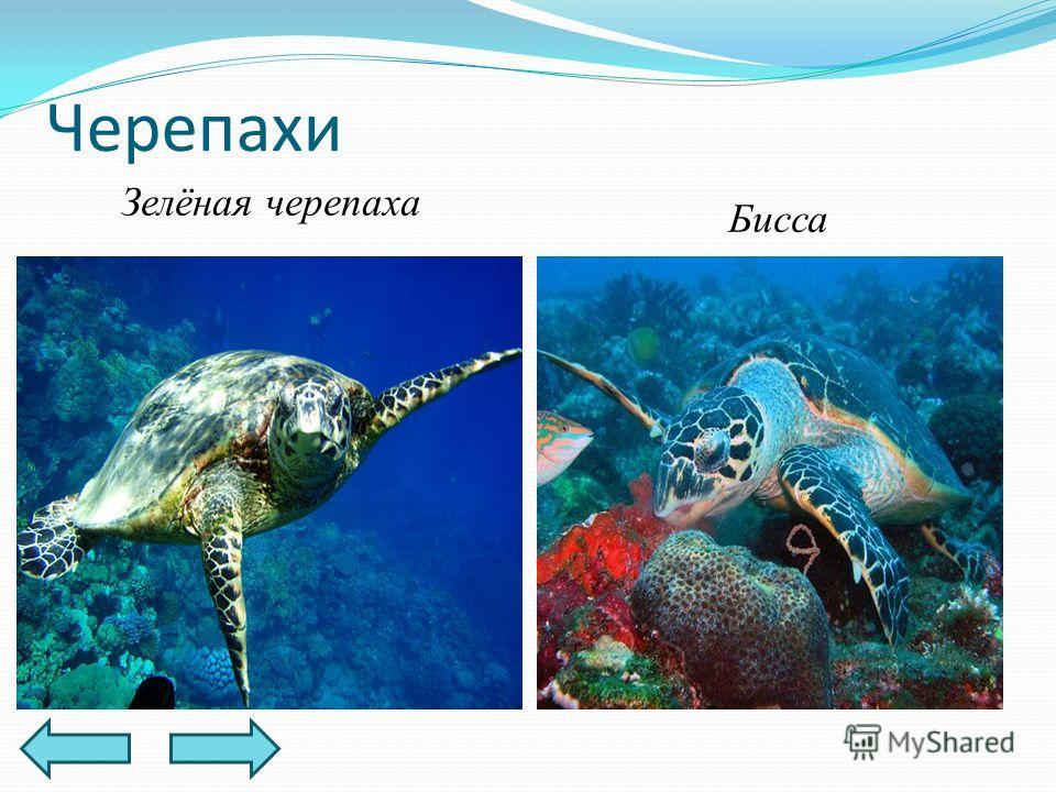 Черепахи Зелёная черепаха Бисса