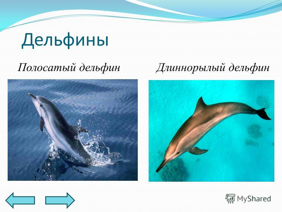 Дельфины Полосатый дельфинДлиннорылый дельфин