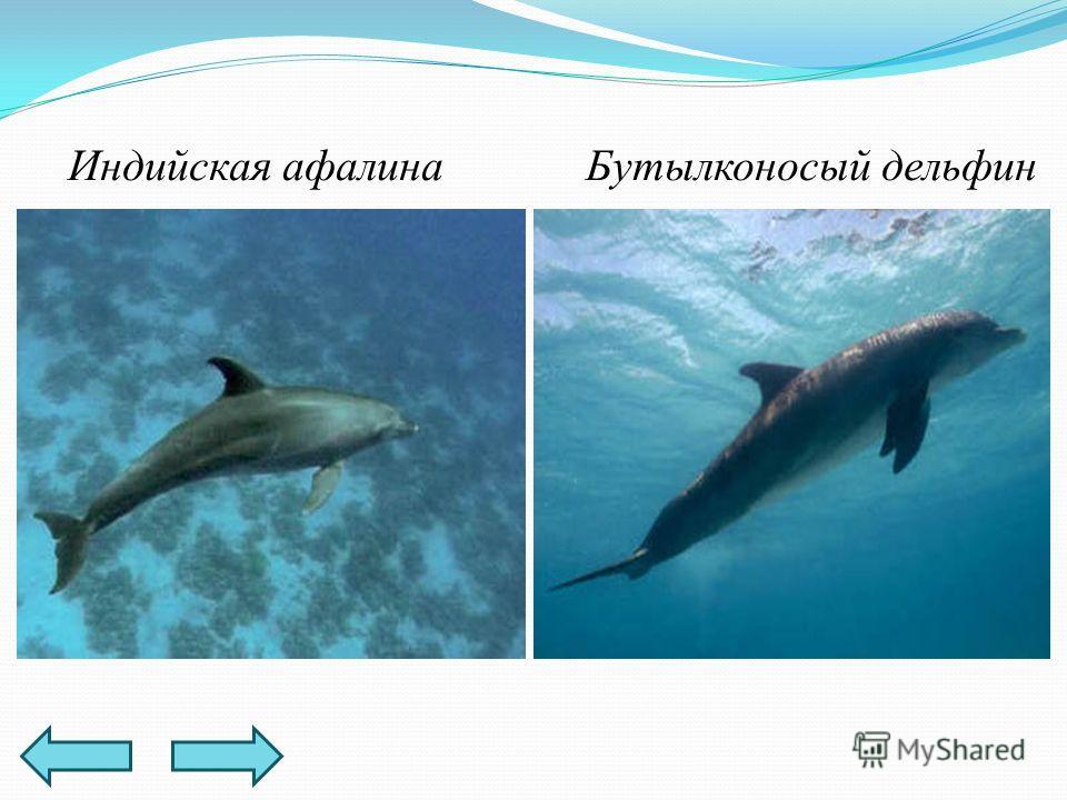 Индийская афалинаБутылконосый дельфин