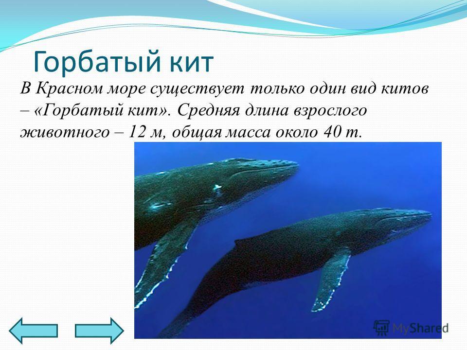 В Красном море существует только один вид китов – «Горбатый кит». Средняя длина взрослого животного – 12 м, общая масса около 40 т. Горбатый кит