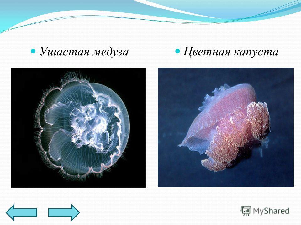 Ушастая медуза Цветная капуста