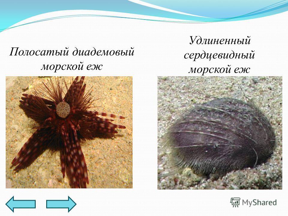 Полосатый диадемовый морской еж Удлиненный сердцевидный морской еж