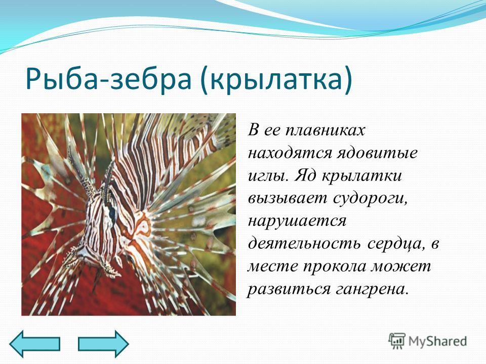 Рыба-зебра (крылатка) В ее плавниках находятся ядовитые иглы. Яд крылатки вызывает судороги, нарушается деятельность сердца, в месте прокола может развиться гангрена.