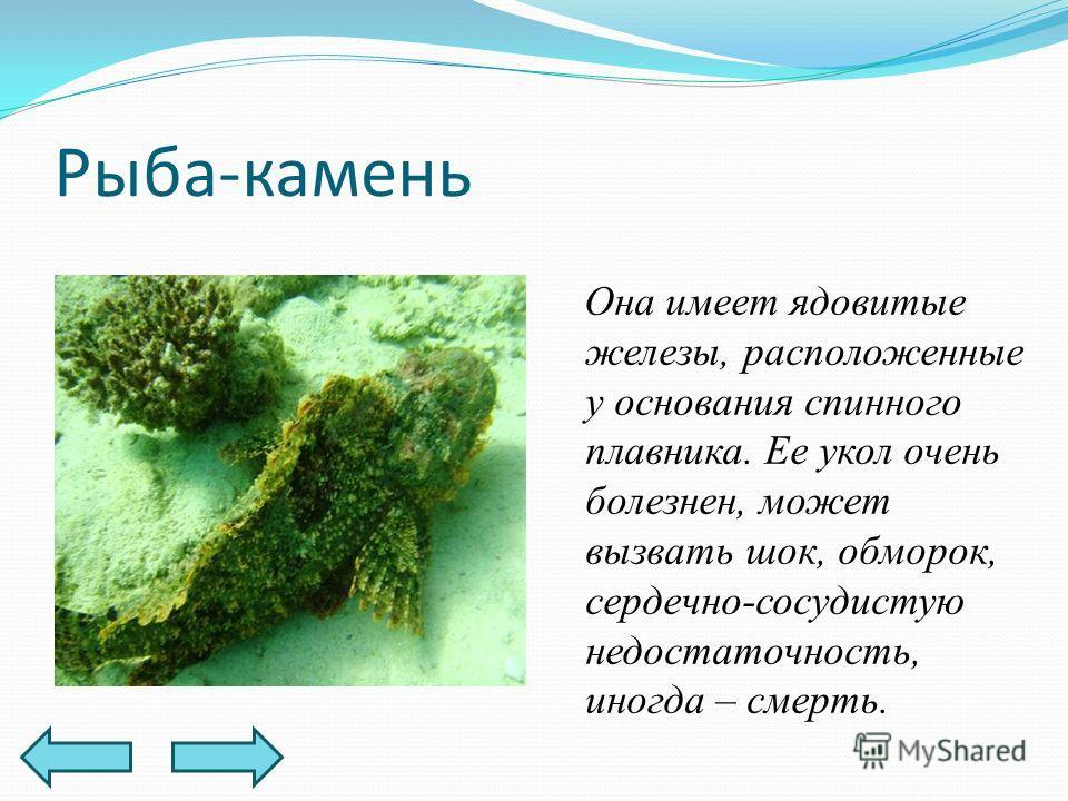 Рыба-камень Она имеет ядовитые железы, расположенные у основания спинного плавника. Ее укол очень болезнен, может вызвать шок, обморок, сердечно-сосудистую недостаточность, иногда – смерть.