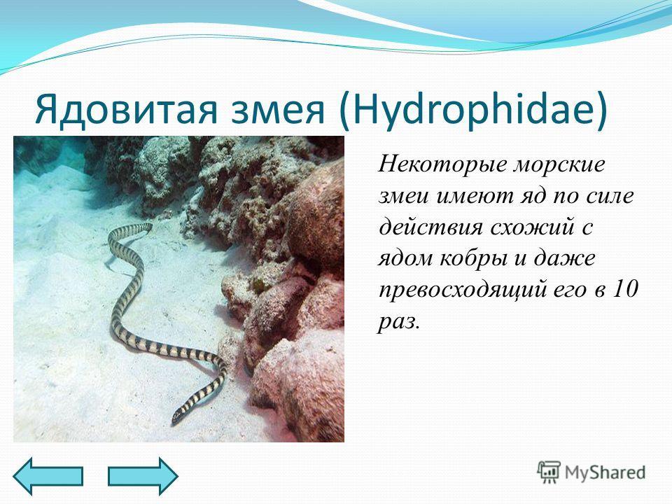 Ядовитая змея (Hydrophidae) Некоторые морские змеи имеют яд по силе действия схожий с ядом кобры и даже превосходящий его в 10 раз.