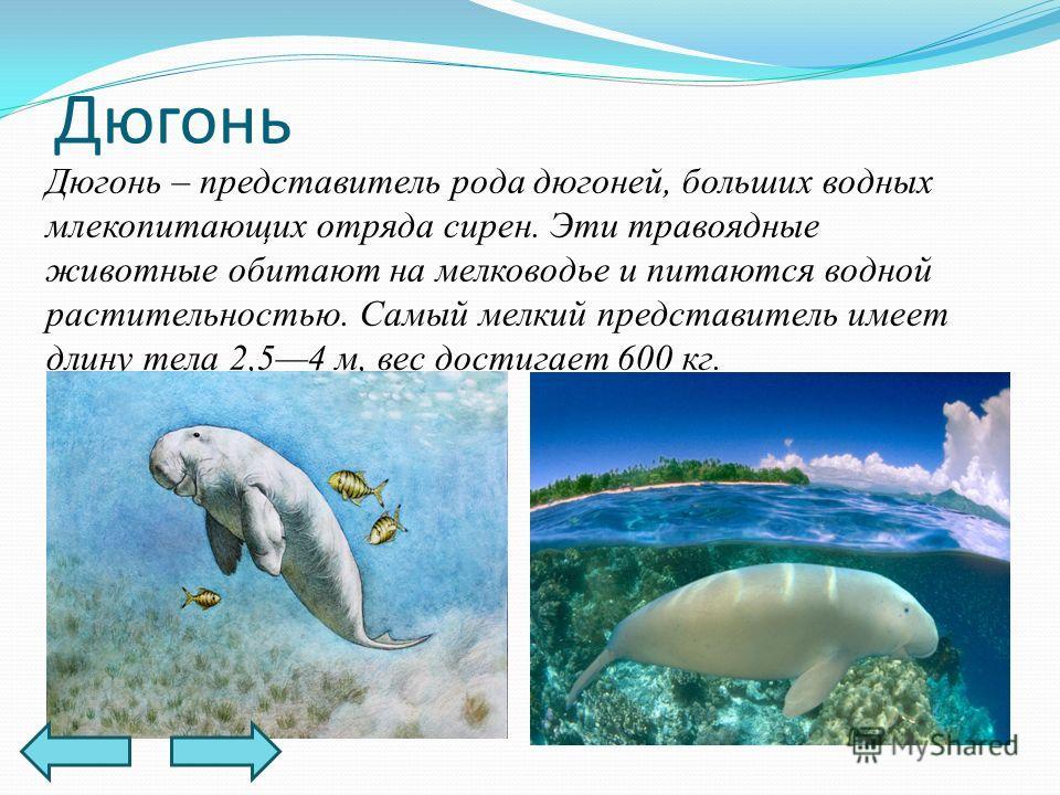 Дюгонь – представитель рода дюгоней, больших водных млекопитающих отряда сирен. Эти травоядные животные обитают на мелководье и питаются водной растительностью. Самый мелкий представитель имеет длину тела 2,54 м, вес достигает 600 кг. Дюгонь