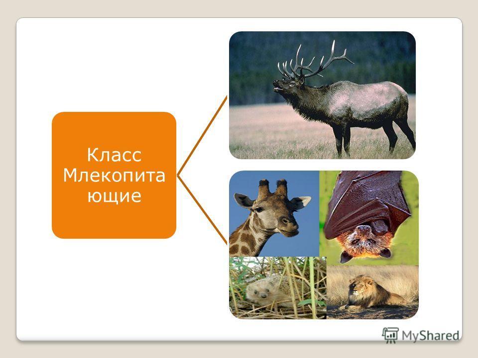 Класс Млекопита ющие