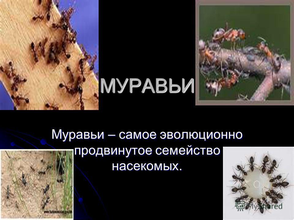 МУРАВЬИ Муравьи – самое эволюционно продвинутое семейство насекомых.