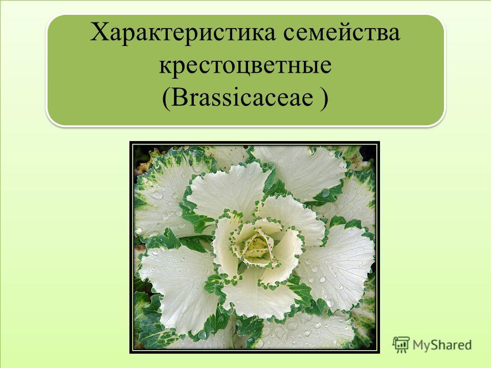 Характеристика семейства крестоцветные (Brassicaceae ) Характеристика семейства крестоцветные (Brassicaceae )