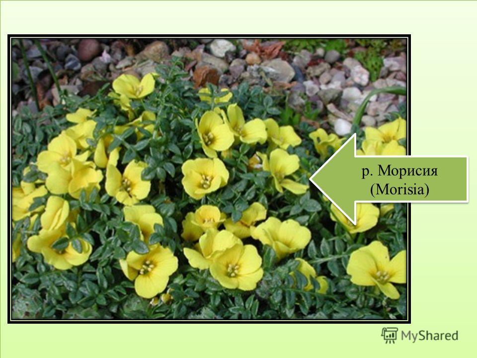 р. Морисия (Morisia)