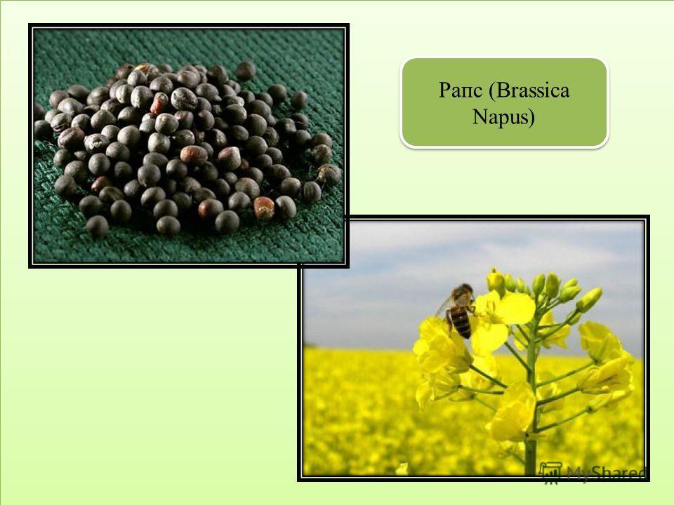 Рапс (Brassica Napus)