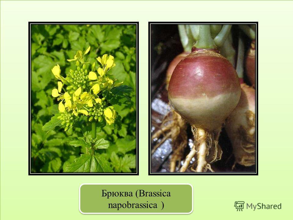 Брюква (Brassica napobrassica )