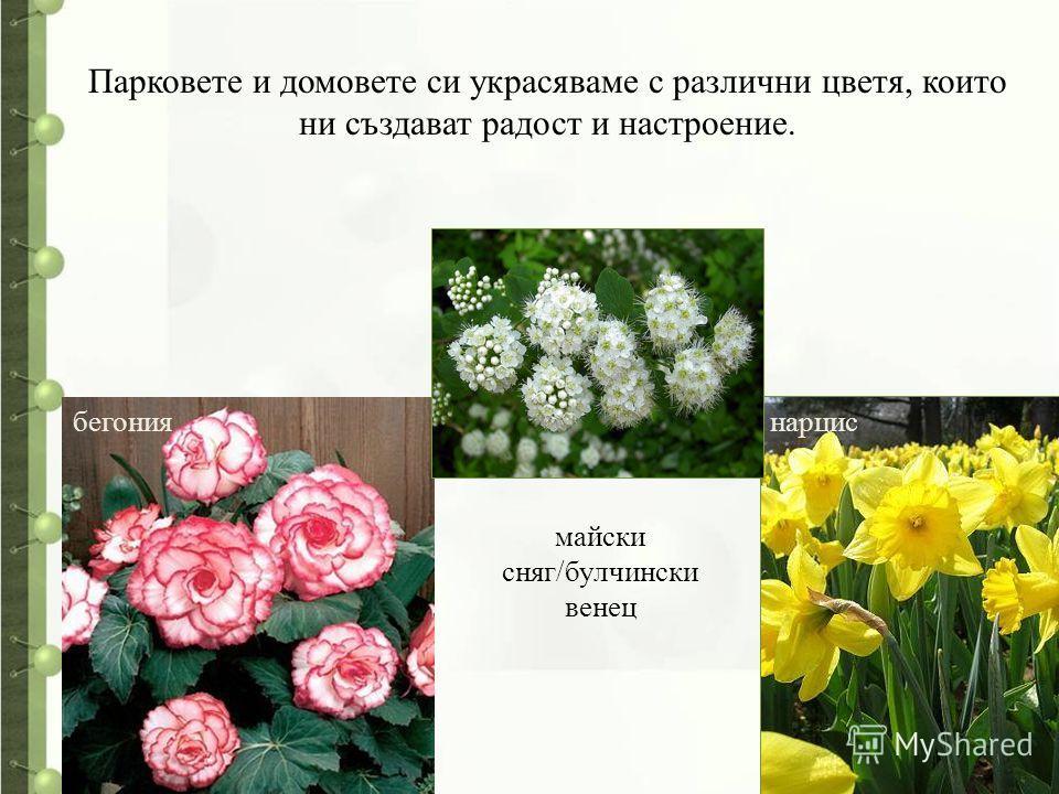 Парковете и домовете си украсяваме с различни цветя, които ни създават радост и настроение. нарцисбегония майски сняг/булчински венец