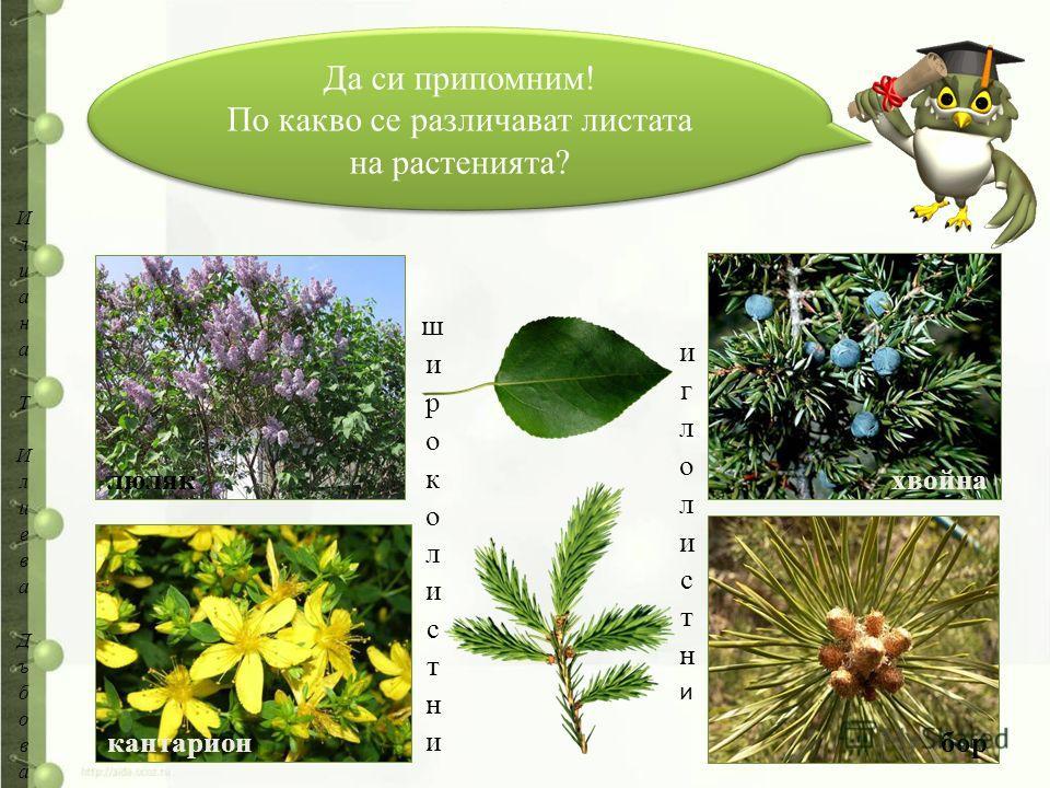 Да си припомним! По какво се различават листата на растенията? Да си припомним! По какво се различават листата на растенията? хвойна бор люляк кантарион