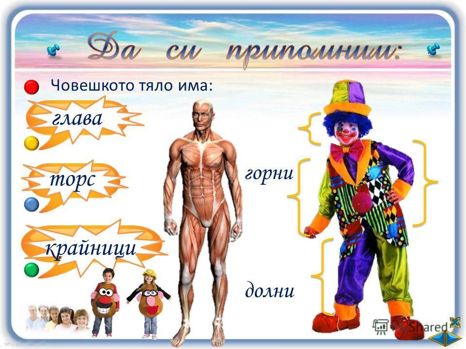 Човешкото тяло има: глава торс крайници долни горни