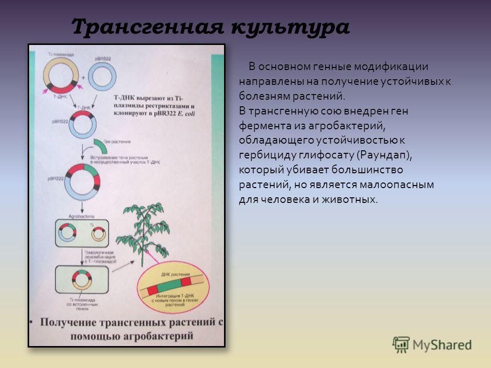 Трансгенная культура В основном генные модификации направлены на получение устойчивых к болезням растений. В трансгенную сою внедрен ген фермента из агробактерий, обладающего устойчивостью к гербициду глифосату (Раундап), который убивает большинство