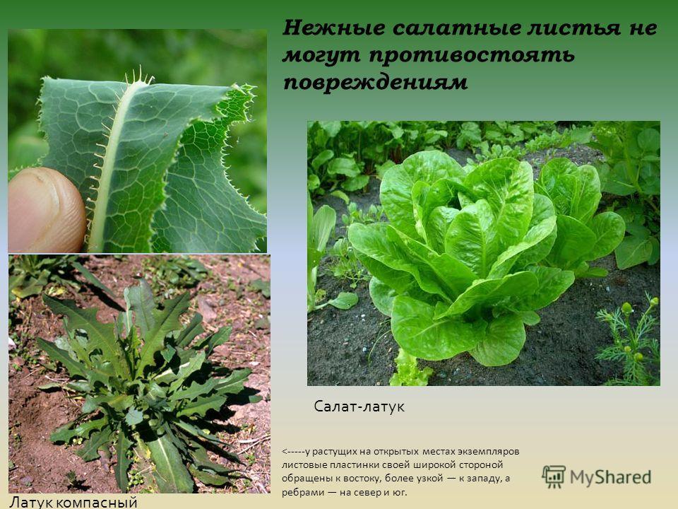 Нежные салатные листья не могут противостоять повреждениям Латук компасный Салат-латук